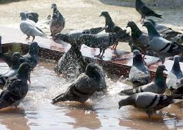 Pigeons try to beat the heat!