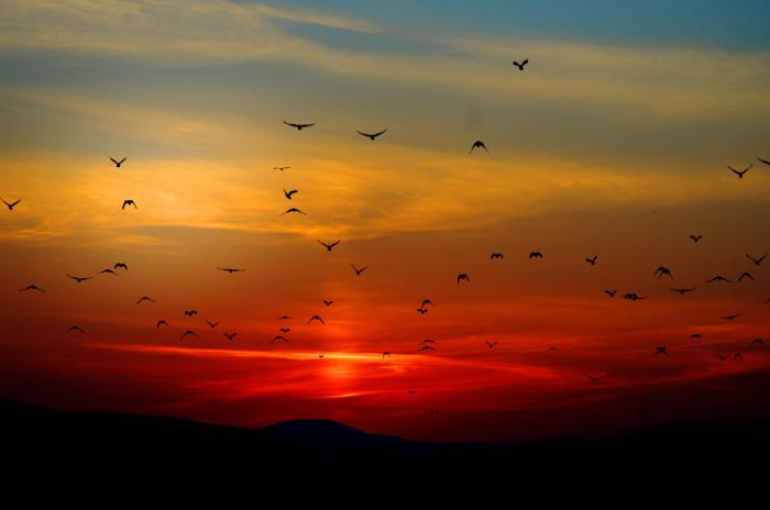 flock-of-birds-flying-above-the-mountain-during-sunset-70577