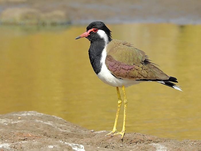 Red-wattled_lapwing_(Vanellus_indicus)_Photograph_by_Shantanu_Kuveskar