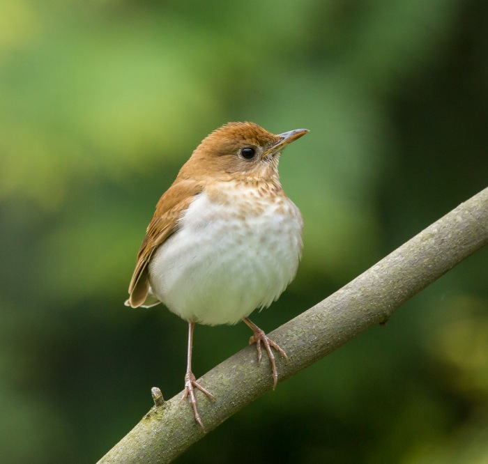 veery bird